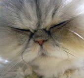 Sonno del gatto persiano Immagini Stock