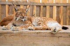 Sonno del gatto selvatico Fotografie Stock