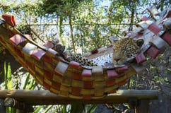 Sonno del ghepardo Fotografia Stock