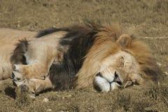 Sonno del leone Fotografie Stock Libere da Diritti
