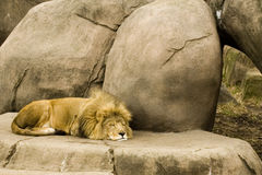 Sonno del leone Fotografia Stock Libera da Diritti