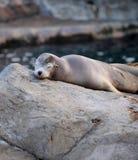Sonno del leone marino Fotografie Stock Libere da Diritti