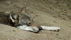 Sonno del lupo Fotografia Stock Libera da Diritti