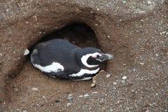 Sonno del pinguino Immagine Stock
