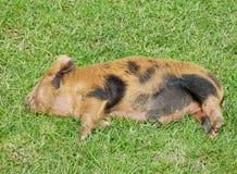Sonno del porcellino Fotografie Stock