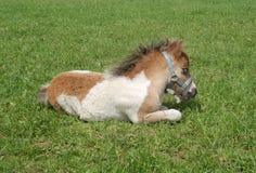 Sonno del puledro del cavallino di Shetland Immagini Stock