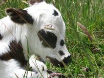 Sonno del vitello Immagine Stock