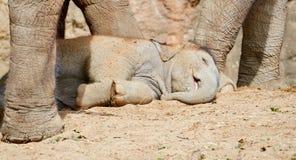 Sonno dell'elefante del bambino Fotografia Stock Libera da Diritti