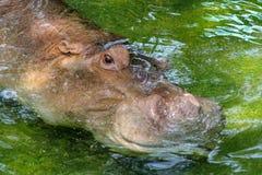 Sonno dell'ippopotamo in acqua ed in occhio aperto alla Tailandia fotografie stock libere da diritti