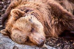 Sonno dell'orso bruno Fotografie Stock