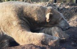Sonno dell'orso polare Immagine Stock Libera da Diritti