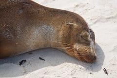 Sonno dell'otaria del Galapagos Immagine Stock Libera da Diritti