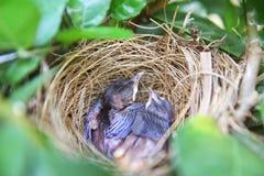 Sonno dell'uccello di bambino Immagine Stock