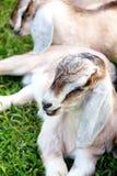 Sonno della capra del bambino Fotografia Stock Libera da Diritti