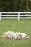 Sonno della famiglia delle pecore insieme Fotografia Stock