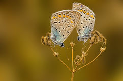 Sonno della farfalla Immagini Stock