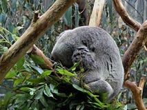 Sonno della koala Fotografia Stock Libera da Diritti