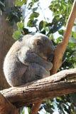 Sonno della koala Fotografia Stock
