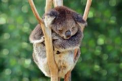 Sonno della koala su un albero di eucalyptus Immagini Stock