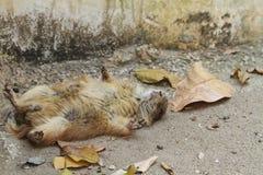 Sonno della marmotta fotografia stock libera da diritti