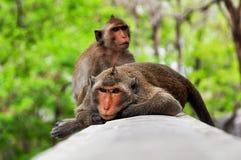 Sonno della scimmia. Fotografia Stock