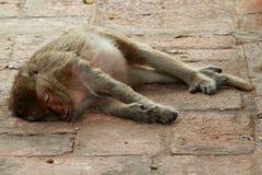 Sonno della scimmia Immagine Stock