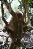 Sonno della scimmia Fotografia Stock