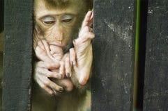Sonno della scimmia del bambino Fotografia Stock