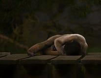 Sonno della scimmia lanosa del Brown immagine stock libera da diritti