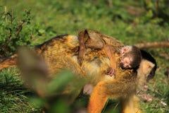 Sonno della scimmia scoiattolo del bambino Fotografia Stock