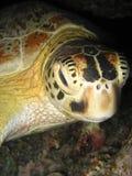 Sonno della tartaruga verde Immagine Stock