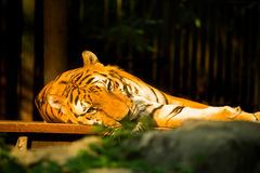 Sonno della tigre di Bengala su legno Immagine Stock Libera da Diritti