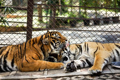 sonno delle tigri nello zoo con la gabbia immagine stock