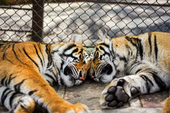 sonno delle tigri nello zoo con la gabbia fotografia stock