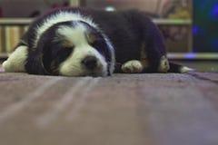 Sonno di border collie del cucciolo su un tappeto Fotografie Stock