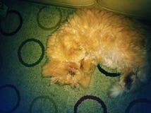 Sonno di Kitty Fotografia Stock Libera da Diritti