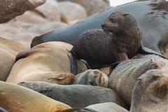 Sonno e bambino dei leoni marini Immagini Stock Libere da Diritti