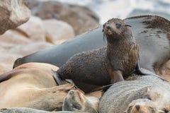 Sonno e bambino dei leoni marini Fotografia Stock Libera da Diritti