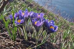 Sonno-erba.   vento-fiore dei fiori (patens del Pulsatilla). Fotografia Stock Libera da Diritti