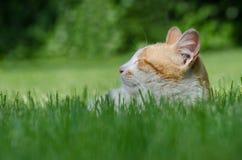 Sonno giallo e bianco del gatto Immagini Stock
