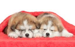 Sonno giapponese dei cuccioli del Akita-inu Fotografia Stock Libera da Diritti