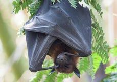 Sonno indiano del pipistrello della frutta Fotografia Stock Libera da Diritti