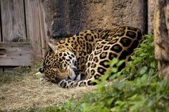 Sonno Jaguar fotografie stock libere da diritti