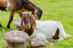 Sonno marrone e bianco della capra su prato inglese in azienda agricola Fotografie Stock