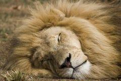 Sonno maschio del leone Fotografia Stock Libera da Diritti