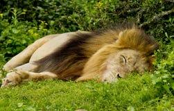 Sonno maschio del leone Fotografia Stock