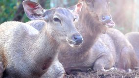 Sonno monocolore dei cervi o di Rusa del Sambar sulla terra sulla montagna video d archivio