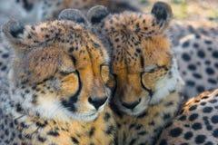 Sonno pericoloso dei cuccioli del ghepardo Immagini Stock