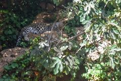 Sonno persiano di saxicolor di pardus della panthera del leopardo fotografia stock libera da diritti