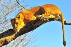 Sonno profondo su un albero Fotografia Stock Libera da Diritti